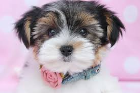 black friday puppy sale best 25 yorkshire terrier for sale ideas on pinterest teacup