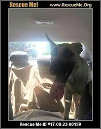 belgian shepherd rescue victoria texas belgian malinois rescue u2015 adoptions u2015 rescueme org