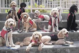 Pictures Of Blind Dogs Https Upload Wikimedia Org Wikipedia En D Db Lab