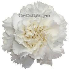 wholesale carnations white carnations wholesale fresh white carnation flowers