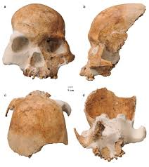 How Many Bones Form The Cranium Bone Suggests U0027red Deer Cave People U0027 A Mysterious Species Of Human