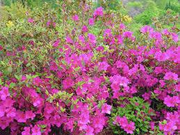 Pink Spring Flowering Shrubs - gardening prune spring bushes in the week after blooming the