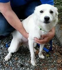 american eskimo dog adoption spanaway wa american eskimo dog meet chloe a dog for adoption
