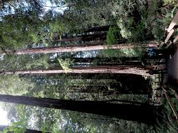 Muir Woods Map Muir Woods Is San Francisco U0027s Cathedral To Mother Nature U2013 Going