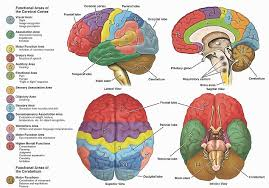 Anterior Association Area Best 25 Function Of Cerebral Cortex Ideas On Pinterest Brain