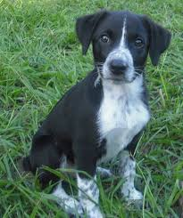 australian shepherd 11 weeks old ryder the aussie heeler puppy adopted the dog liberator