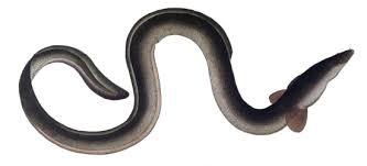 Seeking Eel Silver Eel Britishseafishing Co Uk