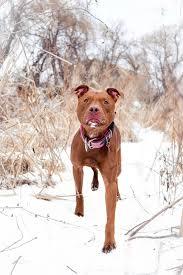 american pit bull terrier registry my pit bull ruby rose album on imgur