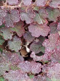 ornamental raspberry state by state gardening
