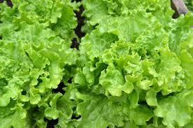 free images food harvest produce lettuce plants vegetables