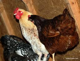 top chicken diseases and natural treatments raising chickens top