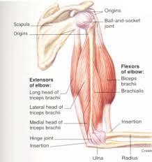 Muscle Anatomy Of Shoulder Arm Bones Bones Of The Arm Learn Bones