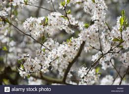 efflorescence white cherry tree twigs macro bright leaves