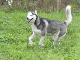 females dams afc siberian huskies