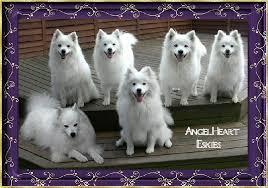 american eskimo dog breeders new england angelheart eskies american eskimo dogs about us