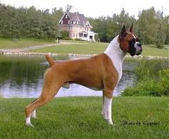 boxer dog origin animals animals