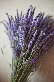 martini lavender 647 best lavender images on pinterest lavender lavender fields