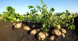 Green Root Vegetables - underground crops bayer crop science