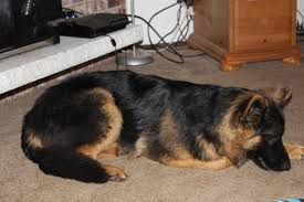 australian shepherd 6 month weight what does did your 6 month old pup weigh german shepherd dog forums