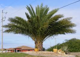 sylvester palm tree sale sylvester palm trees for sale fort myers