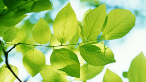 gallery for u003e free leaf wallpapers
