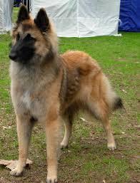 belgian shepherd victoria australia erlander francine