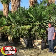 jumbo needle palms