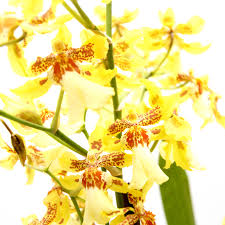 yellow orchid yellow orchid oncidium hybrid in ceramic white pot living gift