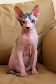 Favorito Dicas Felinas: Gatos sem pelo: Sphynx #FS44