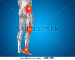 3d Knee Anatomy Knee Ligament Stock Images Royalty Free Images U0026 Vectors