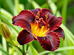 day lilies hemerocallis dominic reblooming daylily