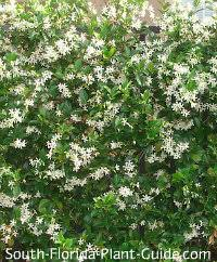 The Most Fragrant Plants - one of the most fragrant vines of south florida confederate