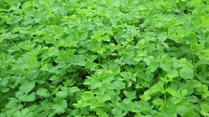 green coriander in growth at vegetable garden stock footage video