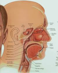 Human Anatomy Thyroid Tongue Prajna Yoga