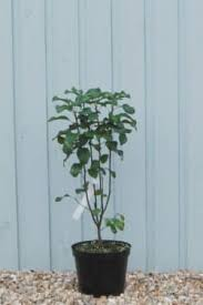 amelanchier plants ornamental trees shrubs