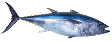 Japanese Fish Flag Can Farmed Tuna Save The Bluefin From Extinction The Japan Times