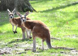 Potter Park Zoo Lights by Potter Park Zoo Gets 5 Kangaroos