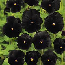 black flower pansy black beauty seeds