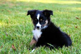 australian shepherd 14 weeks mini aussie puppies u2013 alangus mini aussies a dog blog