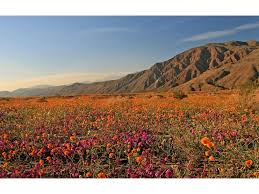 anza borrego anza borrego desert state park wildflowers hikes