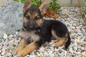german shepherd puppies for adoption 1 free hd wallpaper