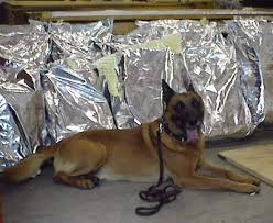 belgian shepherd how to train police dog drug training police dog drug training howstuffworks