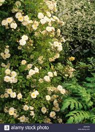 private garden kent climbing rose rosa goldfinch on pergola stock