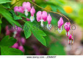 Bleeding Hearts Flowers A Branch Of Bleeding Hearts Flowers Stock Photo Royalty Free