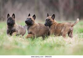 belgian sheepdog rescue ontario three dogs together in small stock photos u0026 three dogs together in