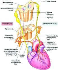 Ans Anatomy And Physiology Parasympathetic Nervous System And Heart Failure Circulation