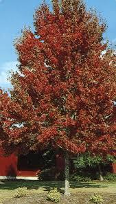 Wildfire Black Gum Tree tree product categories j c bakker nurseries