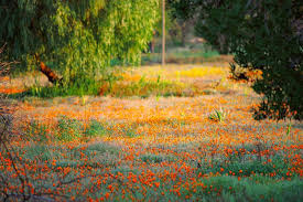 South African Wild Flowers - namaqualand flower power desert in south africa filming locations