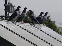 How To Get Rid Of Pigeons Off My Roof by Bird Problems And Solutions Birds On Or Under Solar Panels