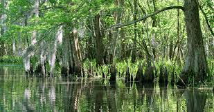 Louisiana travel keywords images Leaning tree in louisiana swamp tourism bayou wetlands atchafalaya png